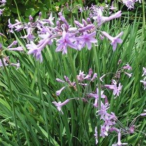 Wilde knoflook - Tulbaghia violaea - Inflora